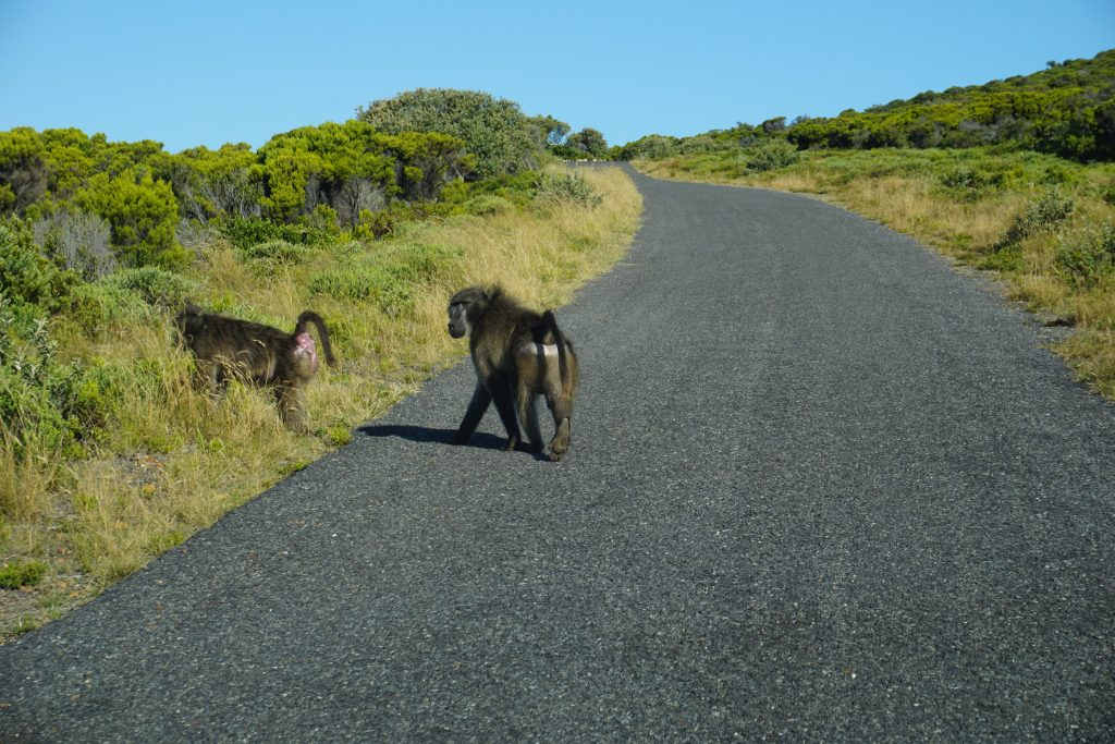 Baboons on Cape of Good Hope