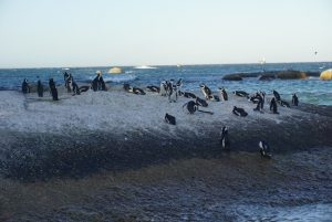 Swimming with Wild Penguins at Boulders Beach